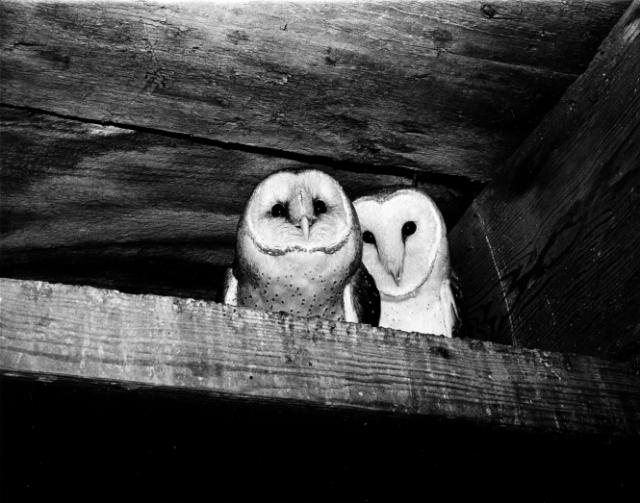 owls_increase_and_diffusion